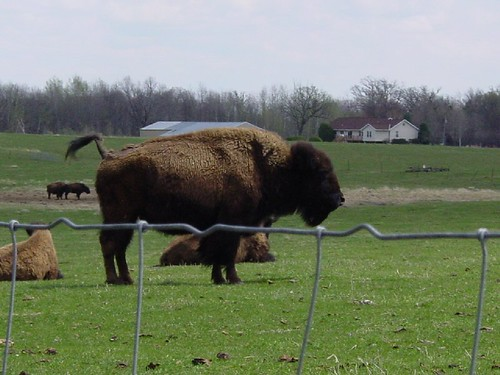Bison 3 - Bison has tail raised completely and proceeds to take a dump