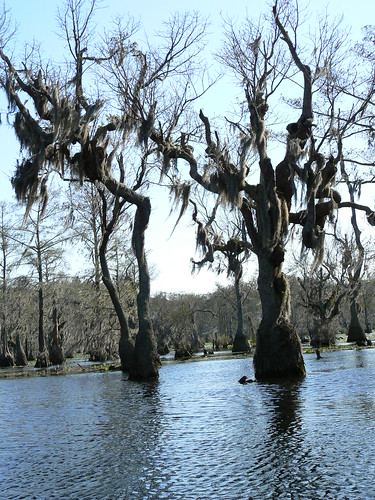 Merchant's Millpond Canoeing - Twisty Trees with Spanish Moss