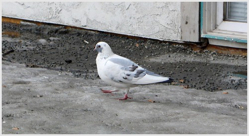 Every time I visit my sons apartment, this white pigeon is there at the stairs.