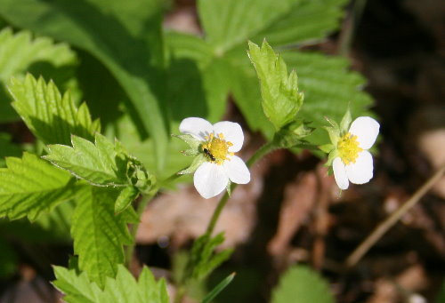 Common Strawberry, Fragaria virginiana