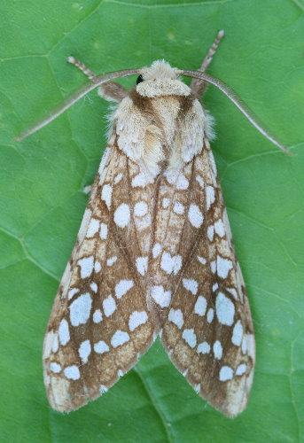 8211 - Lophocampa caryae - Hickory Tussock Moth