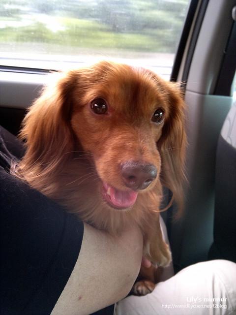 每次帶我家臘腸狗栗子出來玩,他都好興奮,一臉開心的樣子很可愛!