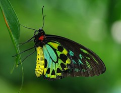 Most Birdwing butterflies are CITES protected