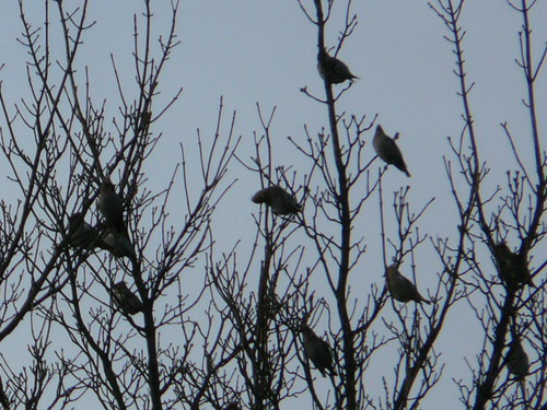 Waxwings (record shot)