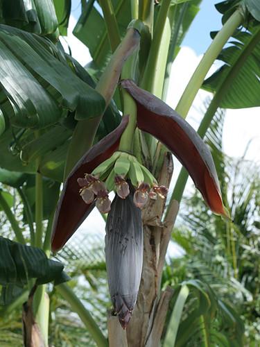 Banana-Flower-Opening-more