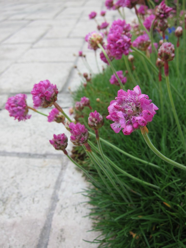 Sea thrift in bloom at CUH