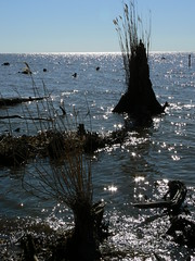 Camden - Grass Silhouettes in Pasquotank River