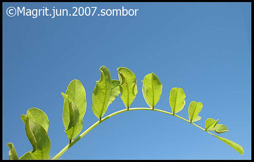 plant, sombor