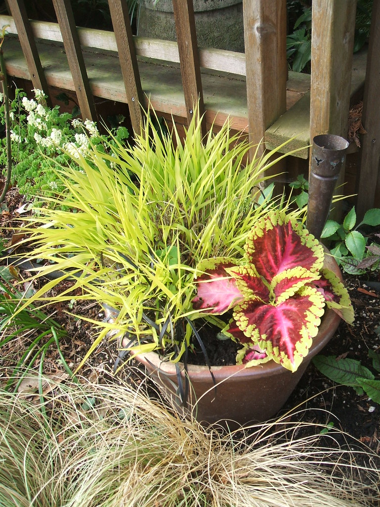 Pot of coleus, black mondo grass and ?