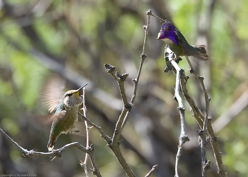 Costa's Hummingbirds by you.