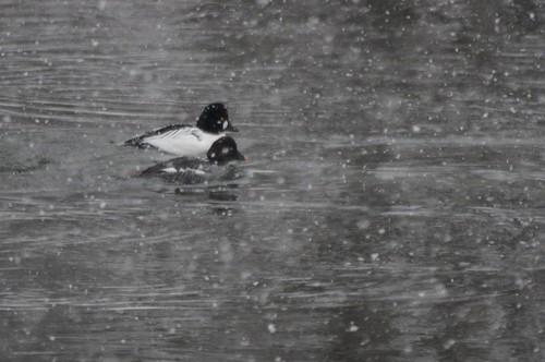 Common Goldeneye in the Snow