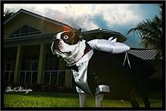Boston Terriers ringbearers RULE!