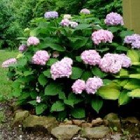 Planting a New Hydrangea Shrub This Spring
