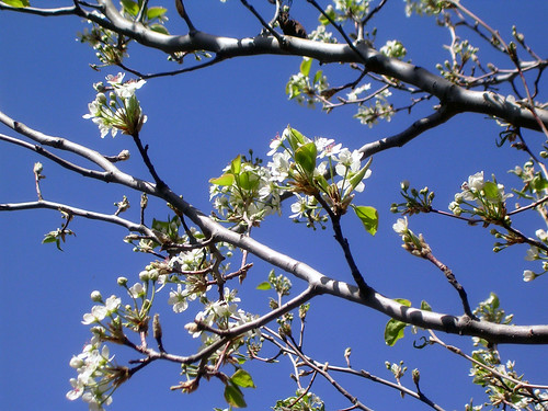 Pear-Blossoms