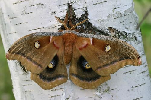 7757 - Antheraea polyphemus - Polyphemus Moth