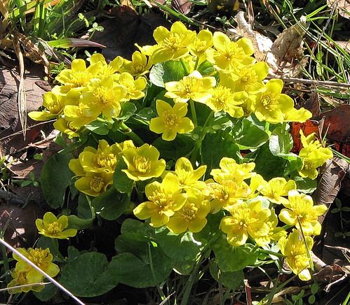 Marsh Marigold - clump