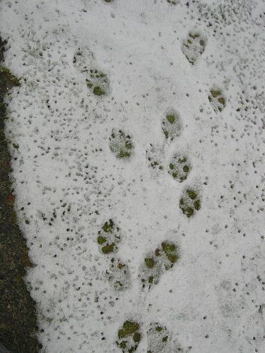 Pawprints in snow