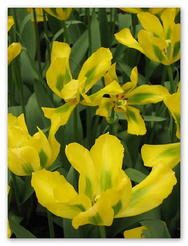 Yellow tulips by you.