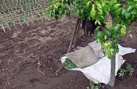 plantar cebolo