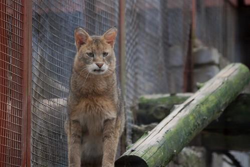 Rohrkatze im Zoo Tallinn
