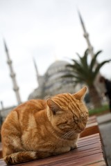 Cat outside Sultan Ahmed Mosque