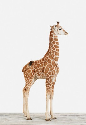 the estate of things chooses baby giraffe photograph