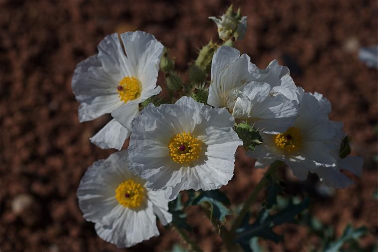 Southwestern Pricklypoppy