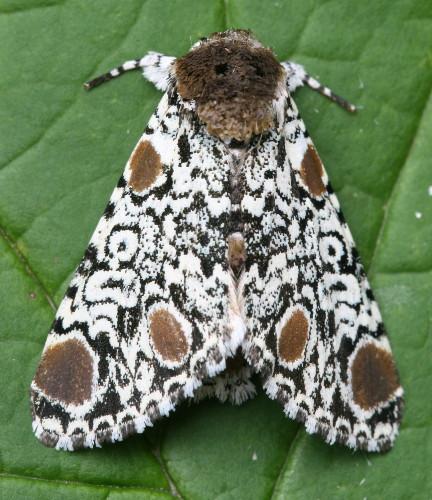 9286 - Harrisimemna trisignata - Harris's Three-Spot