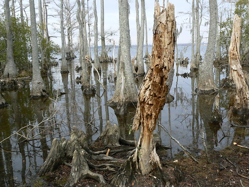 Newbold White House Recreation Trail - Decay and Bald Cypresses (Landscaipe)