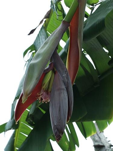Banana-Flower-Opening