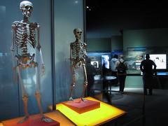 Comparação entre os esqueletos do Homo sapiens...