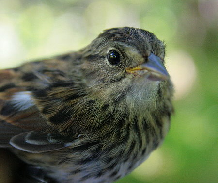 Swamp Sparrow fledgling
