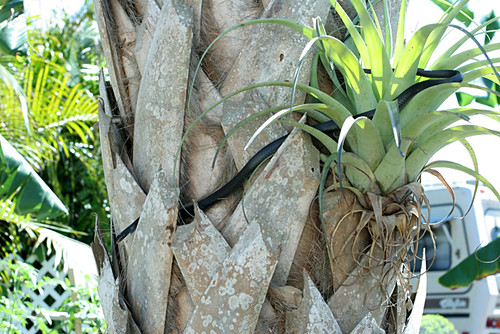 Southern Black Racer in Palm Tree