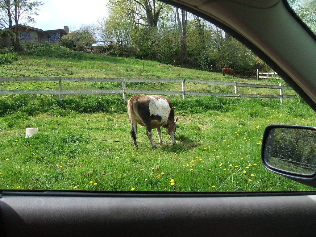 Cow in the city?!