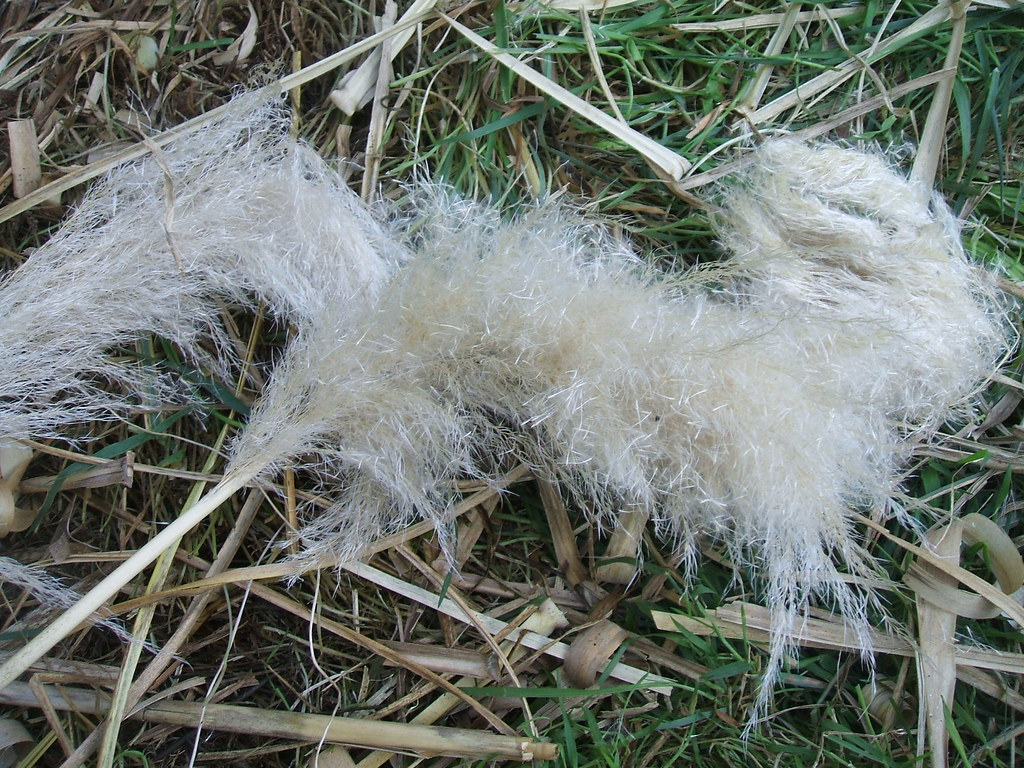 Downed Pampas grass plumes