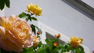 Roses - best viewed on grey