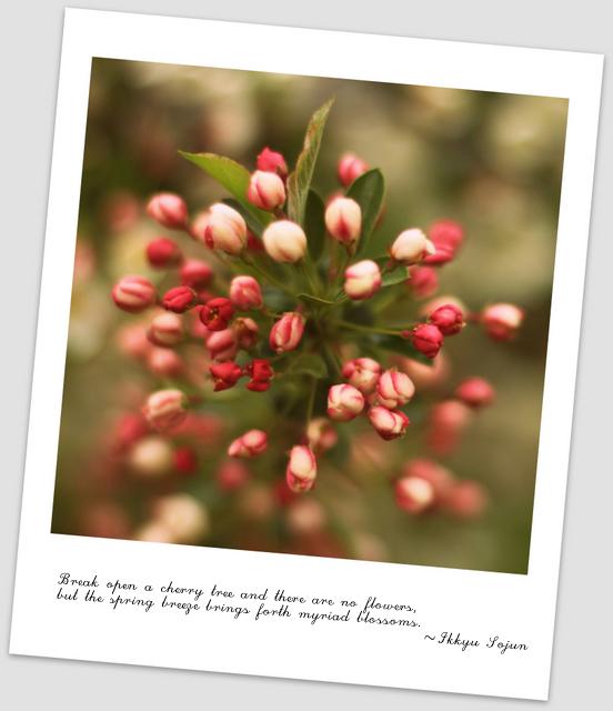 crabappleblossoms-3