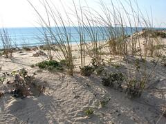 Estorno // European Beachgrass (Ammophila aren...