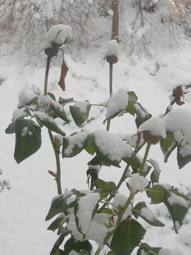 Snowy Rose Bush