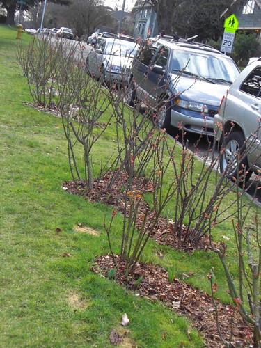 Parking strip rose garden