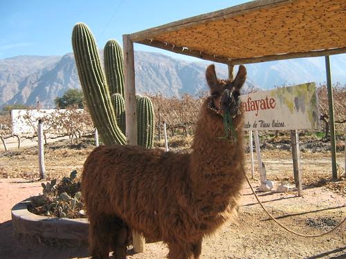Parting Photo of a Llama. Enjoy.