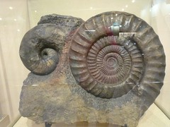 หอยงวงช้างโบราณและแอมโมไนต์