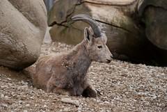 Sibirischer Steinbock im Zoo Tallinn