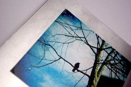 Metal print - posing crow detail