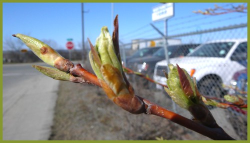 Trees here leaf out in less than a week.  Let there be LIFE!