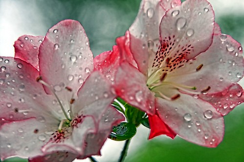 Azalea Rain