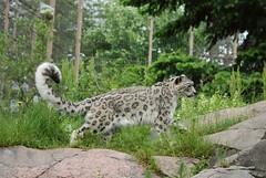 Schneeleopard im Zoo Helsinki
