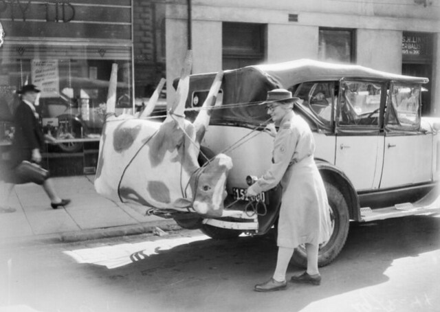 A papier-mache cow on Mrs Mellor's car, 1944