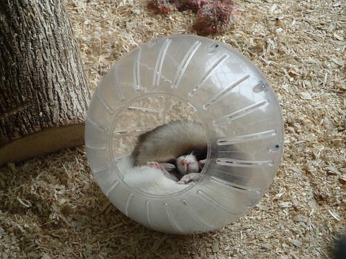 Ferrets closeup