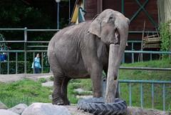Asiatischer Elefant im Zoo Gdansk